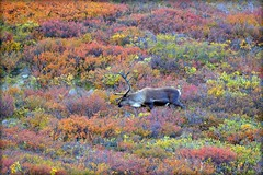 Caribou in Autumn - Animal - Wildlife - Alaska (blmiers2) Tags: travel autumn red orange green fall nature beautiful animal animals yellow alaska nikon purple wildlife antlers denali caribou denalinationalpark d3100 blm18 blmiers2