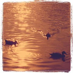 Ducks of the same feather... (susivinh) Tags: sunset water evening pond agua ducks estanque puestadesol tarde patos