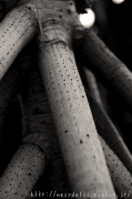 aerial prop roots...