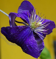 So Blue (algo) Tags: blue white yellow garden petals clematis stamens algo garagedoor
