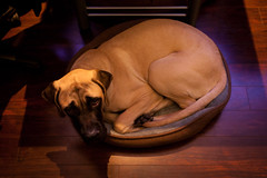 Bundle Of Joy 4430 (PKMousie) Tags: dog pet pets brown black dogs canon relax eos weird bed glare purple floor englishmastiff mastiff relaxing adorable stare huge curl flooring dim jamey staring dogbed curling glaring jameson mastiffs dogbeds englishmastiffs 5dmarkii 5dii