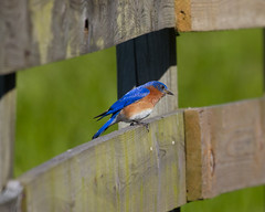 Eastern Bluebird Photo