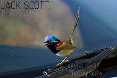 Variegated Fairy-wren (jack.scott) Tags: bird glass car coast australia nsw newsouthwales southcoast windscreen 100400mm wiper variegatedfairywren maluruslamberti avianexcellence canon7d
