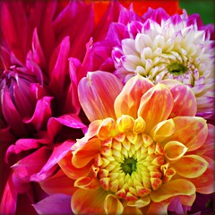 Bouquet From a Friend (Bridgette Peck) Tags: pink dahlia orange green nature beautiful yellow happy petals big soft glow purple heart sweet vibrant gorgeous thoughtful full gift bella blooms rosecolored