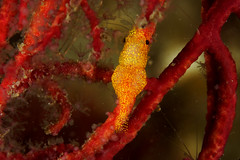 Balssia gasti (Joao Pedro Silva) Tags: red portugal yellow gold shrimp sesimbra commensalism prnppparrabida balssiagasti baadaarmao