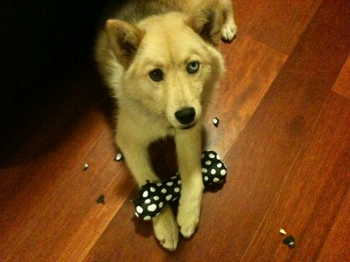 Cody, my Pomsky/Huskeranian destroying a new toy. He's happy.