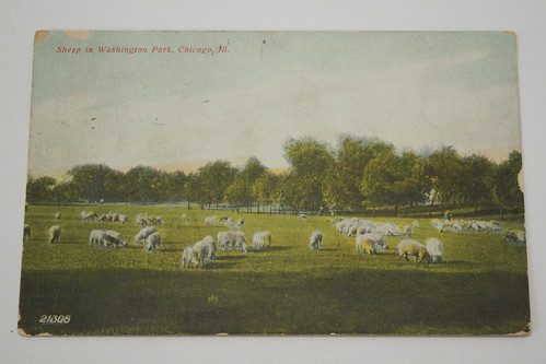 Sheep in Washington Park, Chicago, Ill postcard