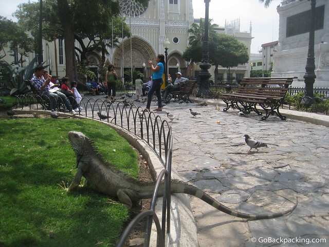 Land iguanas mingle with pigeons in Parque Seminario