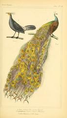 Anglų lietuvių žodynas. Žodis lophophorus reiškia <li>lophophorus</li> lietuviškai.