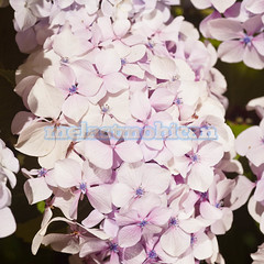 Hortensia (melastmohican) Tags: summer plant flower color nature floral beautiful garden botanical outdoors leaf bush flora colorful blossom gardening head vibrant decoration petal bloom hydrangea delicate fragile blooming hortensia macrophylla