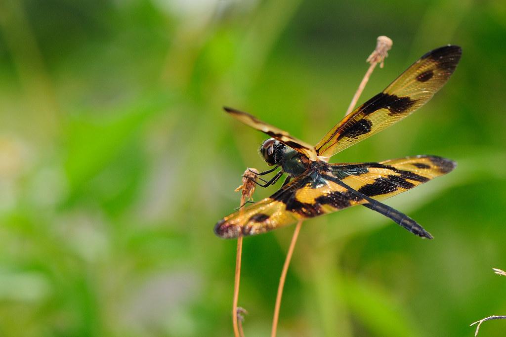 彩裳蜻蜓(雄) Rhyothemis variegata arria