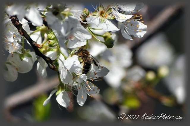 Bee and apple blossom