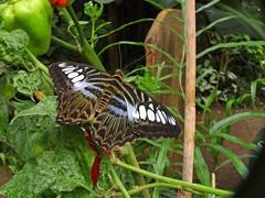 Papillon d'Honfleur France (Arc-en-ciel2) Tags: butterfly butterflies samsung papillon honfleur papillons nv7 rolye
