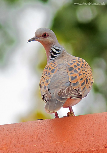 Turtle Dove, Devon Drive by steve_blain