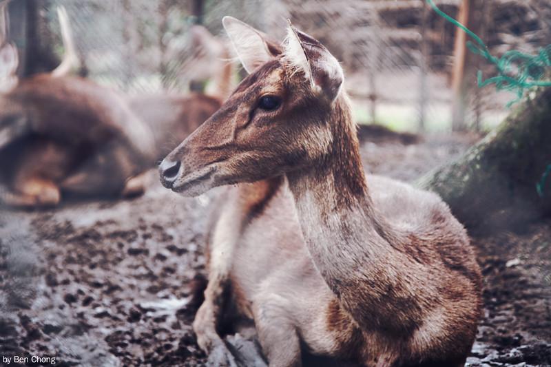 Animal - Deer