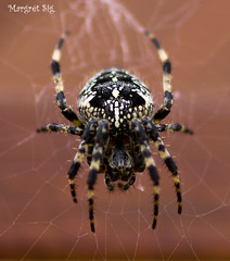 Spider (margretsig) Tags: spider kngul