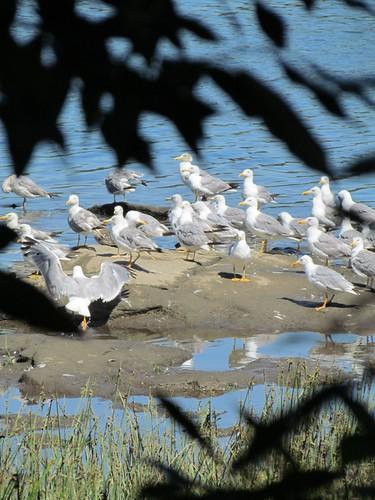 Ilha de Gaivotas no Rio MInho
