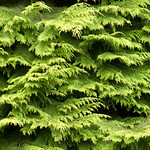 Cypress thumbnail