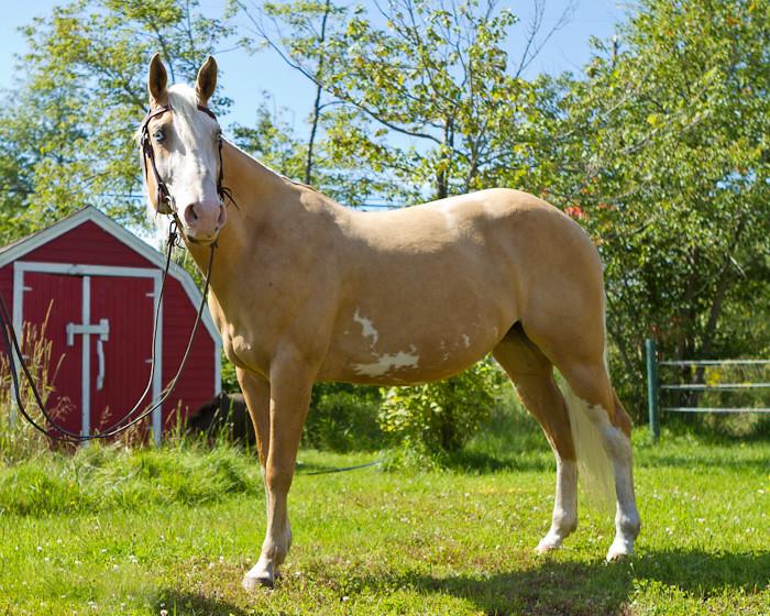 Halifax NS Wedding Portrait Horse Equine photography - Splash & Donna - Nicole Payzant -  (5 of 26)