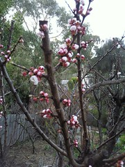 Blossom on the oldest Moorpark Apricot