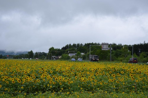 道路沿いにひまわり畑