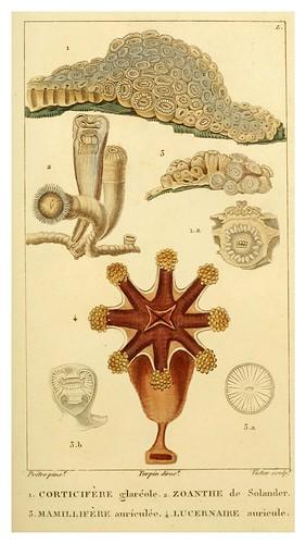 011-Manuel d'actinologie ou de zoophytologie (Volume plates) 1834- H.-M. Ducrotay Blainville