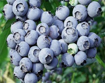 Bellevue U-pick Blueberry Farms