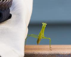 Praying to Not Be Crushed (anikdan1) Tags: ny macro mantis praying prayingmantis whiteplains whiteplainsny