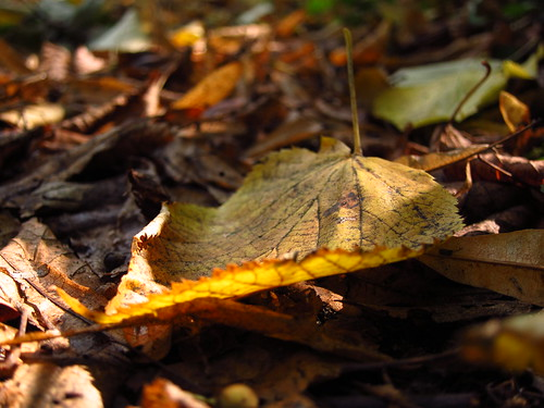 Autumn Leaf, Cannizaro Park