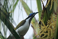 Blue Faced Honeyeater (Chooks!) Tags: city tree bird canon australia brisbane palm qld bluefacedhoneyeater romastreetparkland 550d canonef70300mmf456isusm mygearandme musictomyeyeslevel1