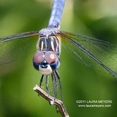 Blue Dasher Dragonfly male closeup (Laura-Meyers) Tags: dragonfly bluedasher pachydiplaxlongipennis wwwlaurameyerscom wwwbirdseyesandbutterflies photocontesttnc11