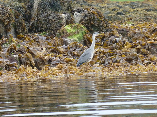 Heron at Dunvegan