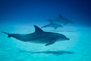 Dolphins at Mnemba (Lil [Kristen Elsby]) Tags: ocean africa blue sea swimming swim tanzania mammal sand topf50 underwater dolphin indianocean dive scuba diving dolphins getty scubadiving zanzibar sharkreef gettyimages underwaterphotography topv7777 mnemba mnembaatoll canong12 fisheyefixg12