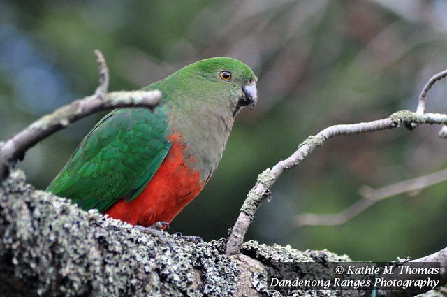 Female King Parrot