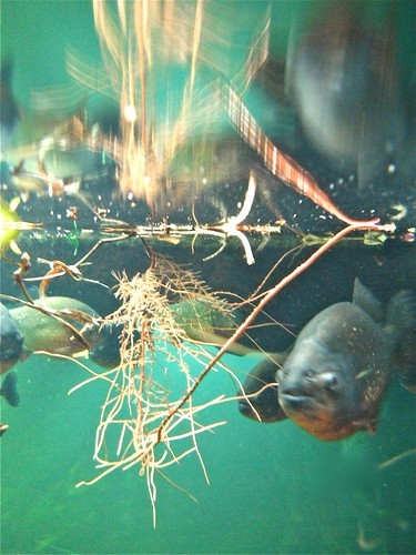 piranha hippo enzo