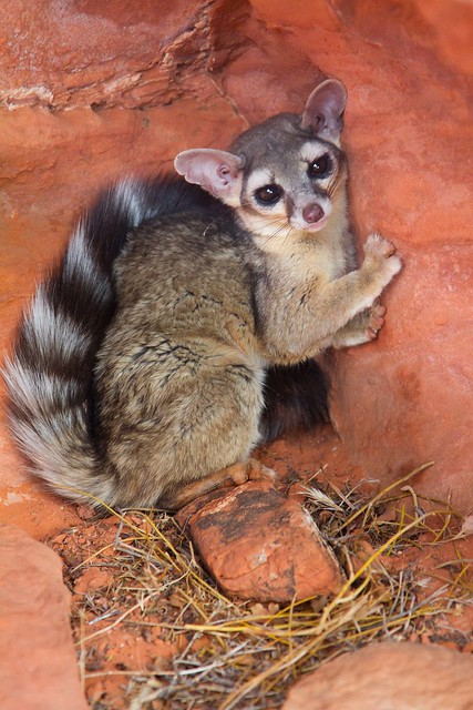 Ring-tailed cat-1.JPG