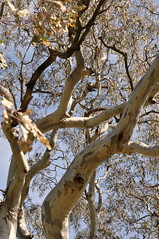 COP Eucalyptus camaldulensis ab (COPbiodiversity) Tags: billdoyle cop cityofplayford playford city council south australia australian sa local locally native localnative plant species vegetation indigenous bassnett rd road river red gum riverredgum redgum tree eucalyptus camaldulensis eucalyptuscamaldulensis nesting hollow nestinghollows specphoto localnativesimset