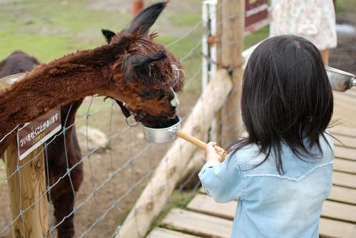 feed a alpaca