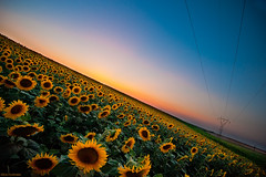 Sunflowers (Nick-K (Nikos Koutoulas)) Tags: flowers blue sunset nature yellow greece sunflowers sunflower      kozani