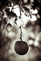 an apple a day... (thombe77) Tags: light bw white black apple nature monochrome leaves canon germany deutschland eos licht leaf natur sw blatt blätter biberach apfel schwarz weis badenwürtemberg 400d