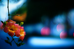 September (moaan) Tags: life blue light flower car digital 50mm evening twilight flora mood dof bokeh dusk atmosphere utata flowering trumpetvine taillight f095 fixedpointobservation 2011 trumpetcreeper canonf095 inlife canon50mmf095 ricohgxr gettyimagesjapanq4 gxrmounta12
