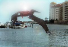 IMG_5893-ed-1 (garfield.23/ Dennis) Tags: ocean sealife pelican