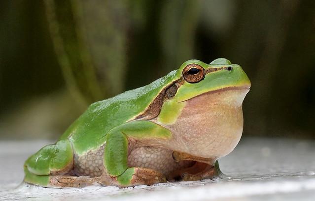 Froschkonzert im Regen