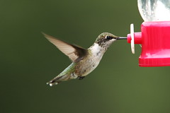 Humminbird (Benny2006) Tags: bird nature flying natural feeder humminbird canon70200f28is canon14xextender canon40d
