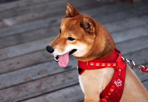 [フリー画像] 動物, 哺乳類, 犬・イヌ, 柴犬, 201108121700