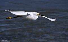 Snowy Egret (Bob Stronck) Tags: egret snowyegret egrettathula cityofmountainview ©rmstronck shorelineparklake stronckphotocom birdsofsanfranciscobay