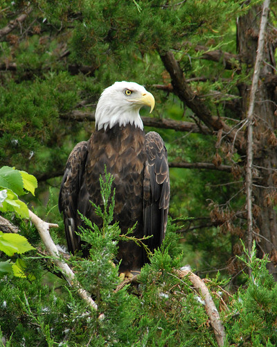 DN_02_Bald Eagle