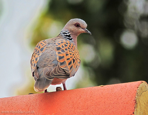 Turtle Dove, Devon Drive