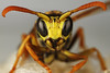 Wasp (tom_bonte) Tags: orange macro yellow tom canon bug insect eos wasp 7 7d 65 bonte canonmpe extrememacro wesp mpe 65mm mpe65mm macroextreme awesomebugs onephotoweeklycontest eos7d macrodreams tombonte