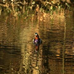 Goden duck - Le canard d'or - SOOC - Rank 306 on Explore - 15/8/2011 - Au Carr (p.franche) Tags: brussels europe belgium belgique bruxelles mandarin mandarinduck brussel canard belge canardmandarin abbayedurougeclotre ringexcellence pfranche